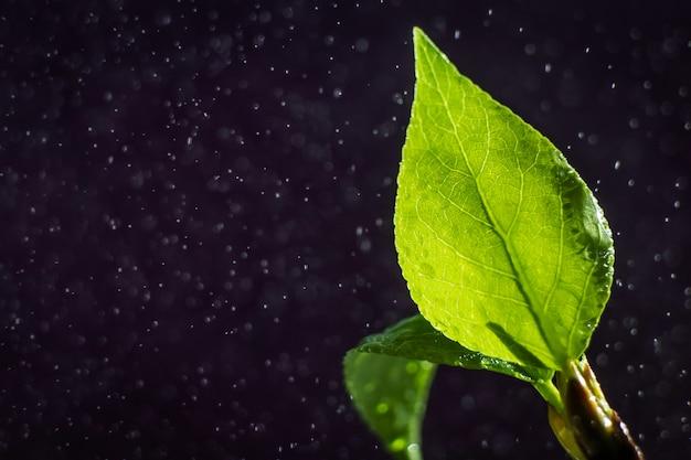Een heldergroen jong blad van een boom op een donkere achtergrond, rond een druppel water.