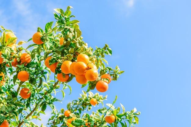 Een heleboel oranje mandarijnen aan de boom in de straat van de stad ergens in het zuiden van spanje.