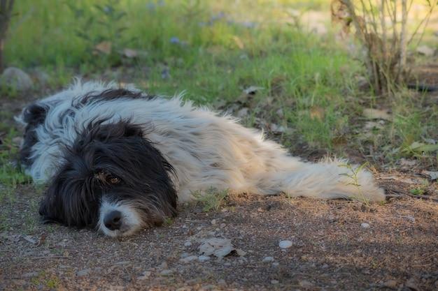 Een herdershond rust op de grond