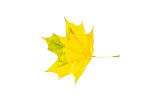 Een herfst geel en groen esdoornblad geïsoleerd op een witte achtergrond.