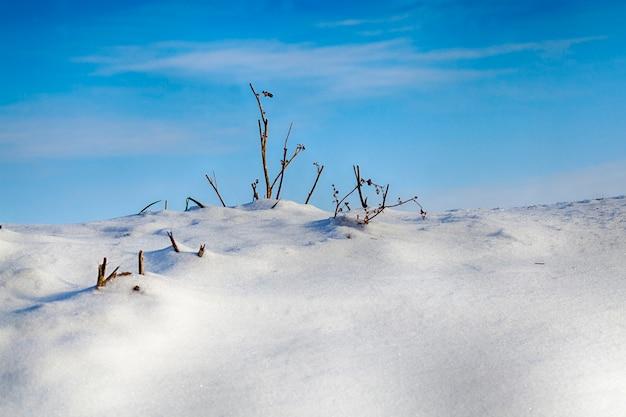 Een heuvel bedekt met sneeuw in de winter, dunne droge takken van gras groeien bovenop tegen een blauwe lucht, vorst