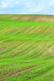 Een heuvelachtig landbouwveld op basis waarvan een nieuwe oogst groen gras groeit, wintertarwe geplant in de herfst, een landschap tegen een blauwe lucht