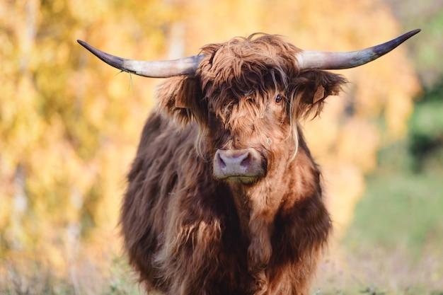 Een highlander koe oorspronkelijk uit schotland