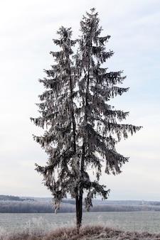 Een hoge spar in wit ijs en vorst, groeit op een heuvel, winterperiode van het jaar