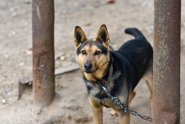 Een hond aan een ijzeren ketting bewaakt een boerderij.
