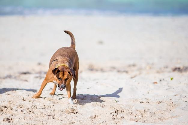 Een hond blaft naar een kleine krab op het strand