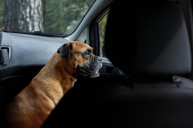 Een hond in een afgesloten auto kijkt uit het raam
