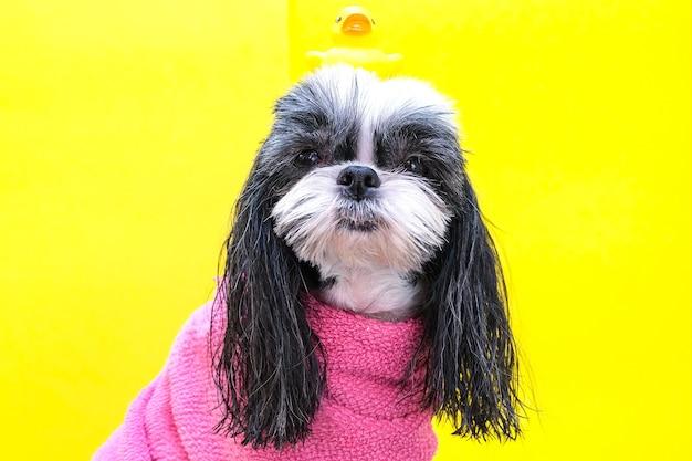 Een hond in een trimsalon; hond na het douchen, gewikkeld in een handdoek. huisdier krijgt schoonheidsbehandelingen in een schoonheidssalon voor honden. eend op het hoofd. gele achtergrond