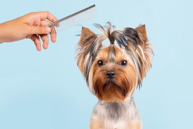 Een hond met een kapsel. de hond kammen. blauwe achtergrond. het trimsalon-concept