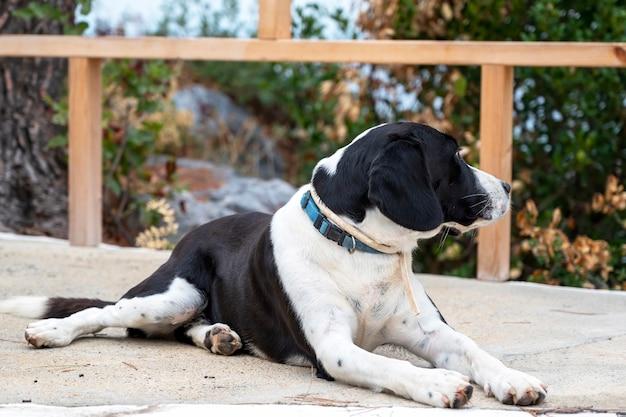 Een hond met zwart-witte vacht liggend op straat, hek en groen