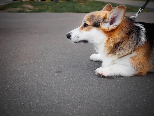 Een hond van de driekleurige welsh corgi pembroke een riem op straat liggend op het stoepfragment