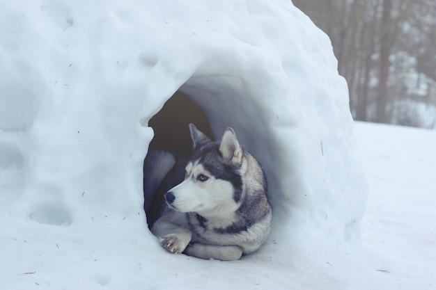 Een hond van het husky-ras ligt bij de ingang van het sneeuwhuis, door de eskimo's iglo genoemd.