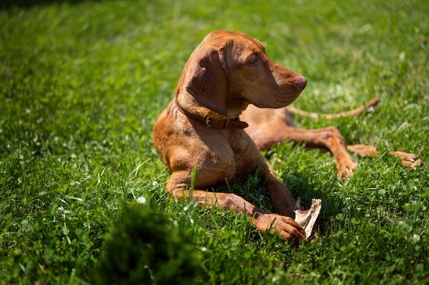 Een hond van het ras viszla ligt op het gras een roodharige hond ligt in de natuur