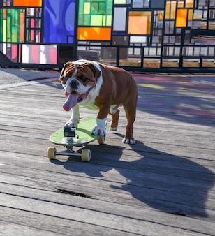Een hondenbuldog die aan het skateboarden is in dumbo brooklyn new york camera voor selfie is op het bord bevestigd
