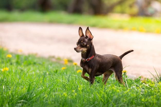 Een hondenspeelgoedterriër
