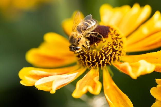 Een honingbij verzamelt nectar van tuinbloem