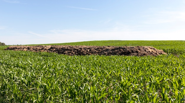 Een hoop mest voor bodembemesting, liggend op het veld waarop een mooie groene maïs groeit en groeit, het begin van de lente op een akkerbouwveld