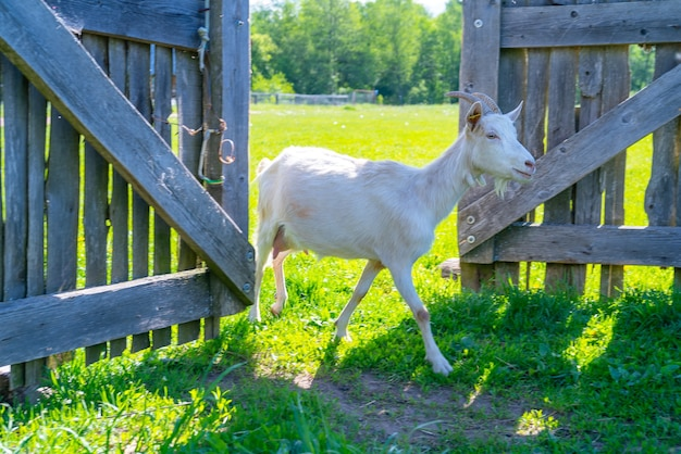 Een huisdierengeit gaat de houten poort binnen. huisdieren op de boerderij.