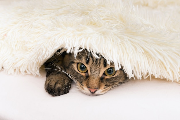 Een huiskat gluurt uit een witte deken van nepbont