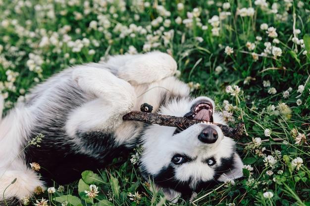 Een husky puppy met veelkleurige ogen knaagt aan een stok en stoeit op het gazon met witte bloemen van klaver.