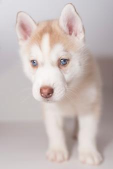 Een husky puppy verdrietig op een lichte achtergrond