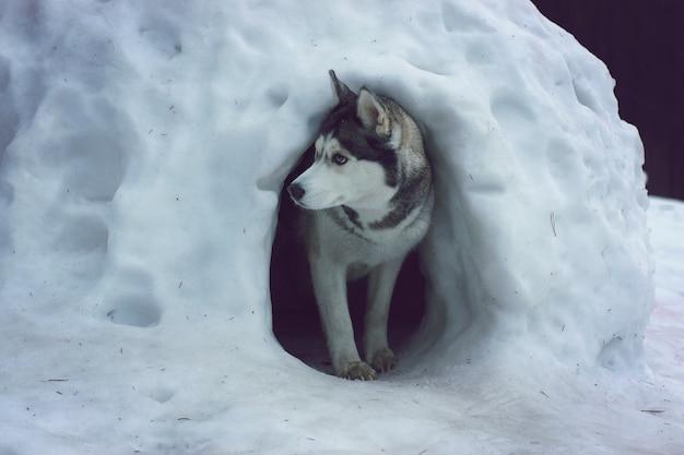 Een husky-rashond komt tevoorschijn uit een sneeuwgrot die de iglo van de eskimo's wordt genoemd.