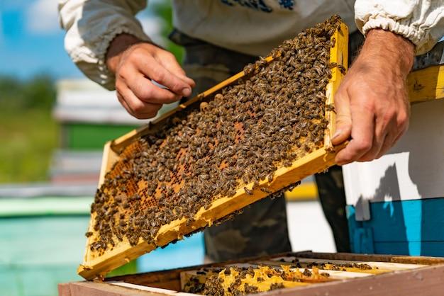 Een imker houdt een houten frame met honingraat en bijen in zijn handen over de bijenkorf