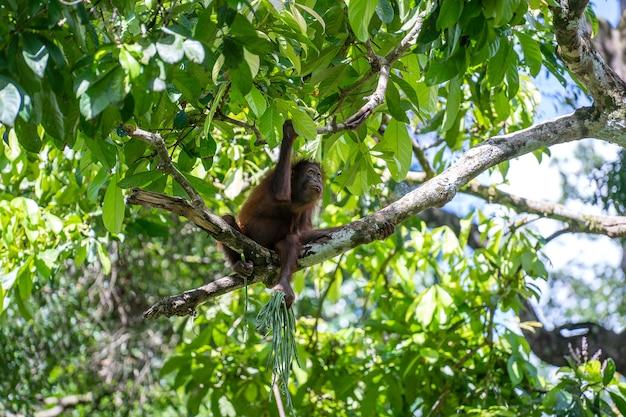 Een in het wild bedreigde orang-oetan in het regenwoud van het eiland borneo
