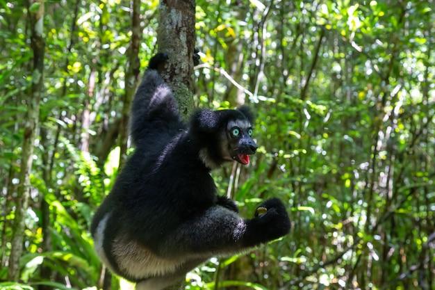 Een indri-maki aan de boom