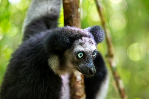 Een indri-maki in de boom kijkt naar de bezoekers van het park