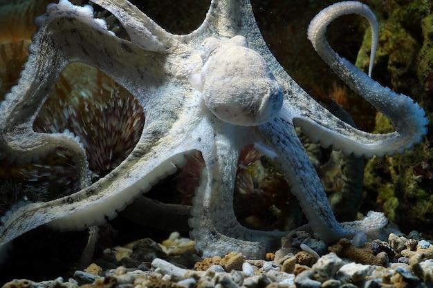Een inktvis camouflage achter het koraal