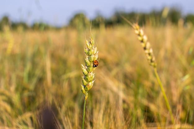 Een insect een lieveheersbeestje op een oor van rogge of tarwe.