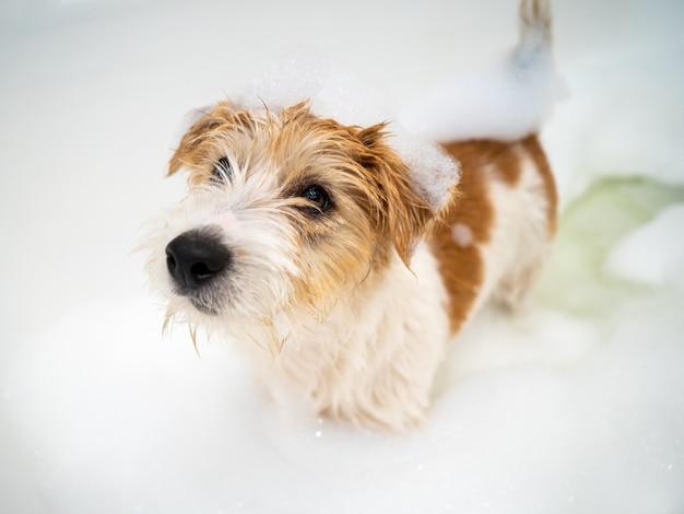 Een jack russell terrier-puppy in een bubbelbad baden na een wandeling.