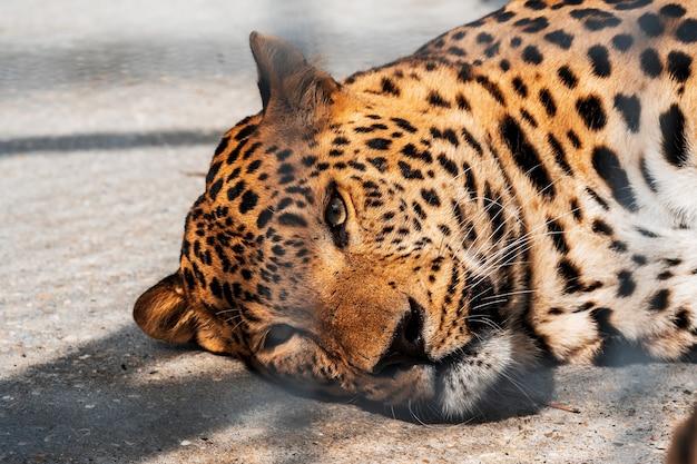 Een jaguar ligt op de grond in een metalen kooi in de dierentuin