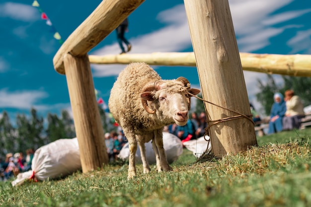 Een jong lam vastgebonden aan een paal. volksfeest