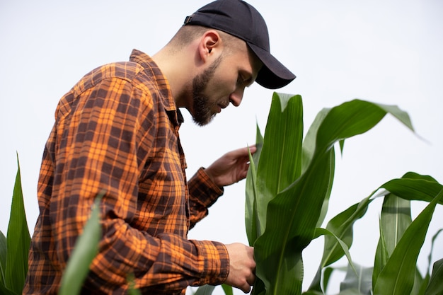 Een jonge agronoom inspecteert de stengels en bladeren van groene maïs.