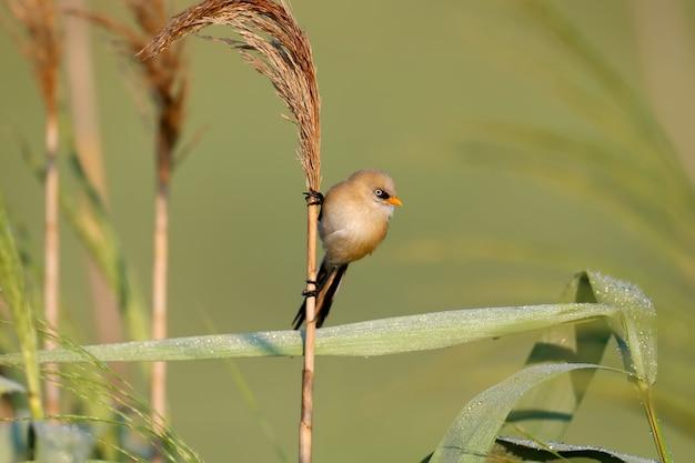 Een jonge bebaarde reedling, ook bekend als baardmees (panurus biarmicus), wordt van dichtbij gefotografeerd in zijn natuurlijke habitat in het zachte ochtendlicht van het gouden uur