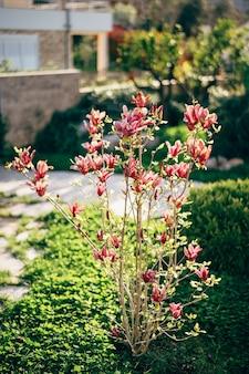 Een jonge, bloeiende magnoliaboom in de tuin met rode bloesems in volle bloei.