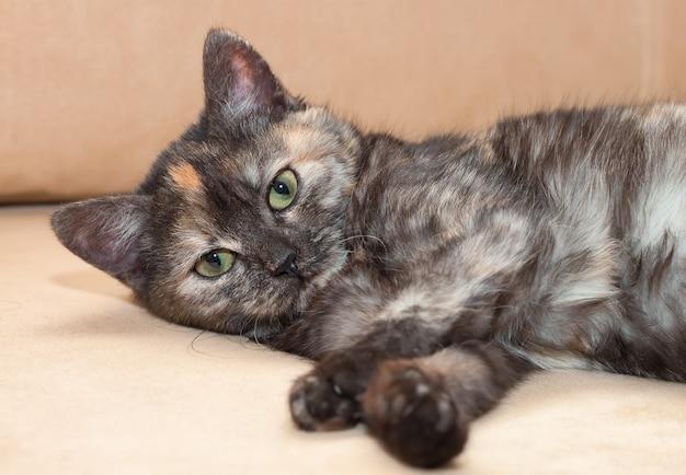 Een jonge driekleuren pluizige kat ligt op de bank en kijkt recht in de camera