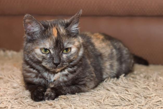 Een jonge driekleuren pluizige kat ligt op de grond en kijkt recht in de camera