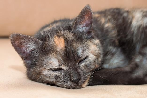 Een jonge driekleuren pluizige kat slaapt op de bank