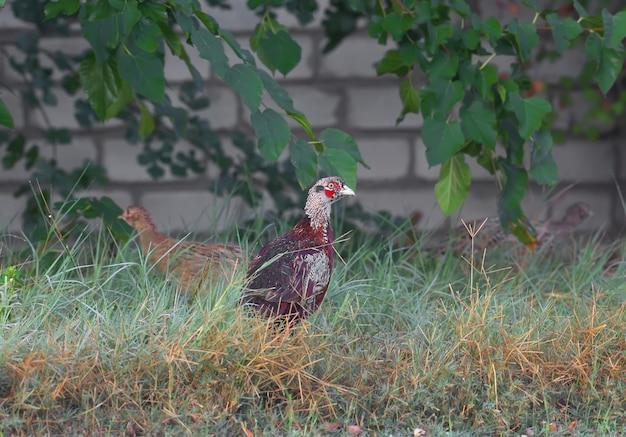Een jonge fazant wordt in een dik gras tegen een bakstenen muur geschoten