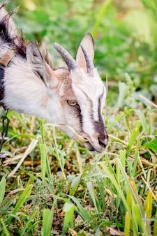 Een jonge geit eet gras op de wei