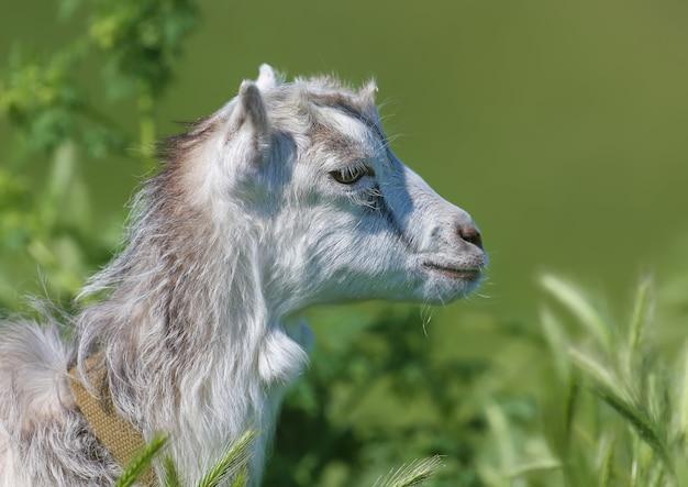 Een jonge geit wordt van heel dichtbij in het groene gras neergeschoten.