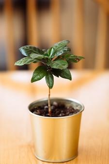 Een jonge groene koffieboomplant in een ijzeren pot staat op een houten tafel.