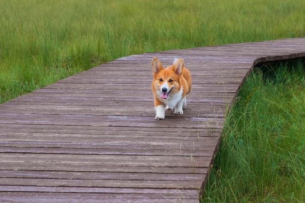 Een jonge hond van het ras welsh corgi pembroke, een puppy, loopt op een zomerdag langs een houten pad over het gras.