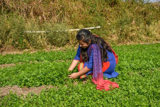 Een jonge indische boerin die op het gebied van de koriander organische boerderij werkt.