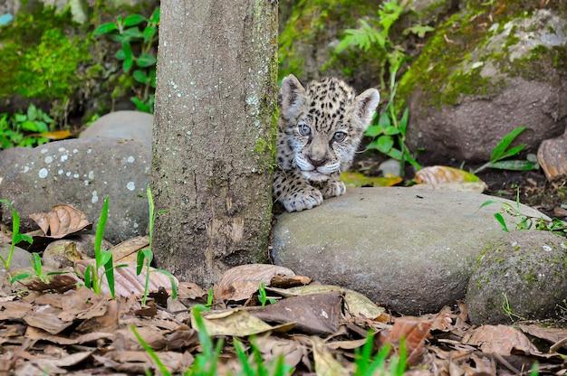 Een jonge jaguar achter een boom.