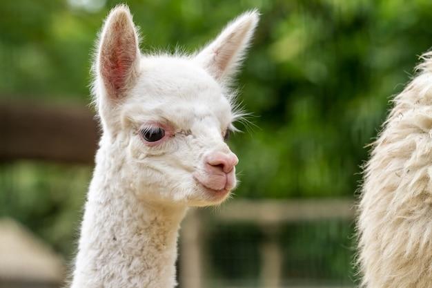 Een jonge lama