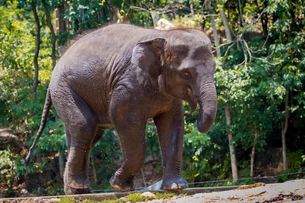 Een jonge olifant in thailand. Premium Foto